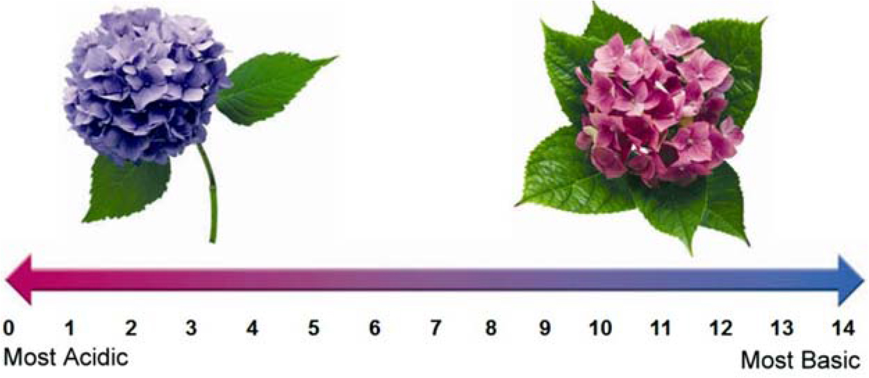 Effect Of Soil Ph On The Anthocyanin Level Of Hortensia I