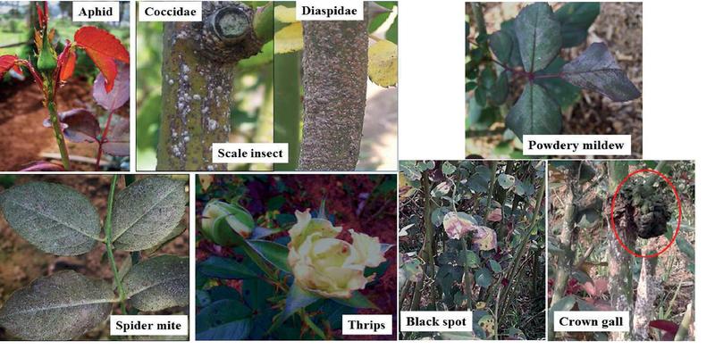 Recent Status of Pests and Diseases on Cut Roses in Batu