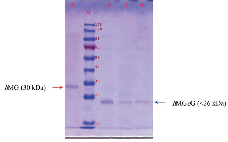 Bioactivity of human Menopausal Gonadotrophin (hMG) and