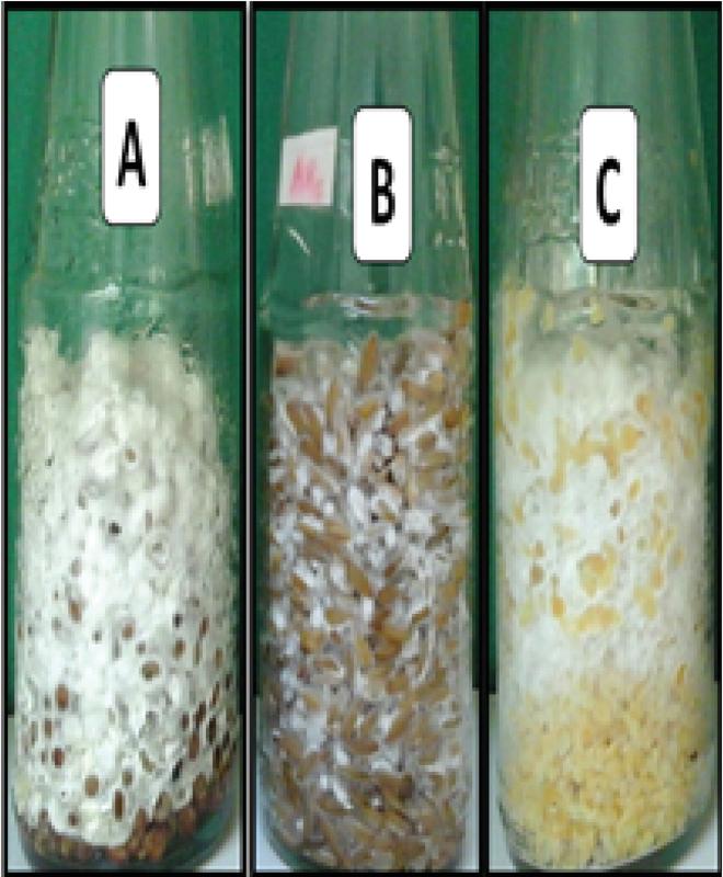 Mycelial Growth and Fructification of Earwood Mushroom